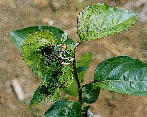 Apple chlorotic leaf spot virus